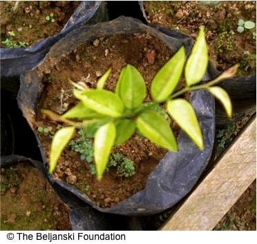 young Pao pereira (Geissospermum)