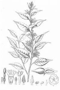 Pao Pereira botanic