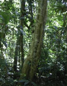 Pao pereira tree